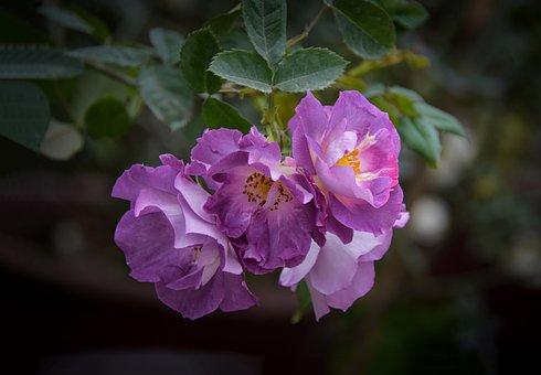 Roses, Purple Flowers, Flowers, Bleu-violet