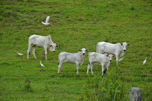 Cows, Livestock, Cattle, Animals, Mammals, Ruminants