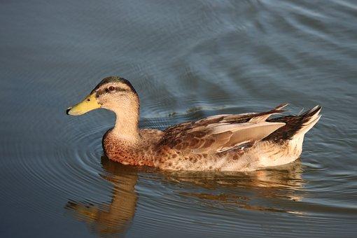 Duck, Bird, Waterfowl, Water Bird, Feathers, Plumage