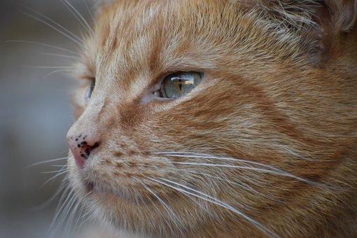 Cat, Kitty, Feline, Kitten, Whiskers, Cat Face, Tabby