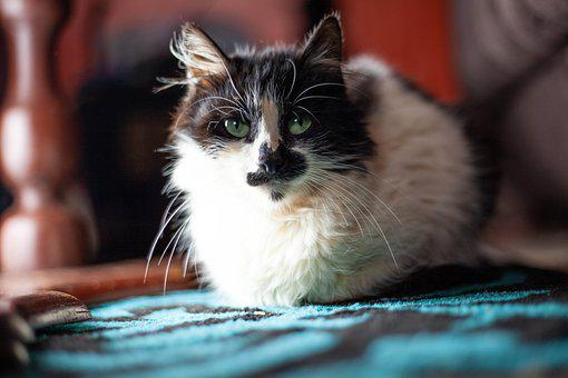 Cat, Feline, Whiskers, Domestic, Pet, Fur