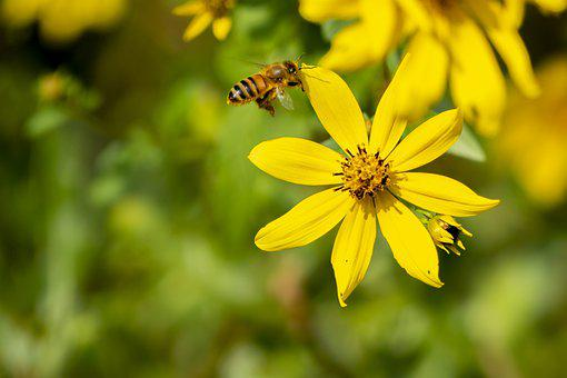 Bee, Flower, Yellow Flower, Insect, Flight, Flying