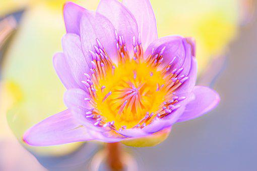 Flower, Water Flower, Lotus, Bloom, Blossom, Flora