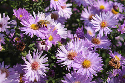 Bee, American Asters, Flowers, Honey Bee, Insect