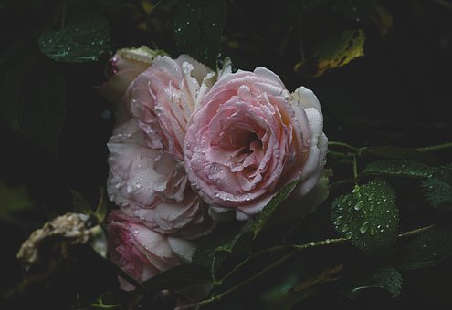 Roses, Pink Roses, Dew, Dewdrops, Droplets, Flowers