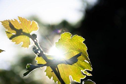 Leaves, Branch, Sunlight, Tree, Plant, Shrub, Flora