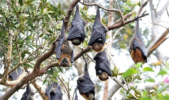 Fruit Bats, Bats, Megabats, Chiroptera, Upside Down