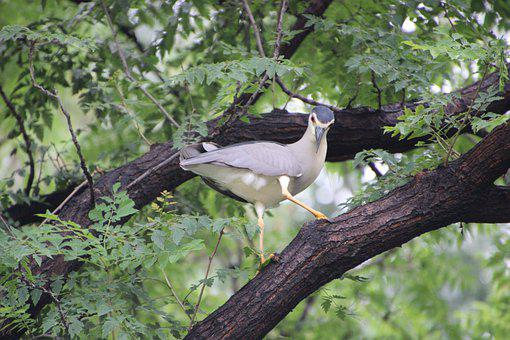 Night Heron, Heron, Bird, Avian, Animal, Wildlife
