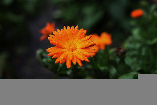 Flower, Dew, Orange Flower, Orange Petals, Bloom