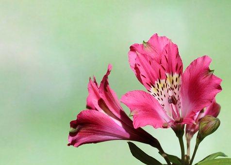 Peruvian Lily, Flowers, Bud, Petals, Stamen