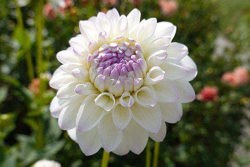 Dahlia, Flower, White Flower, Petals, Bloom, Blossom