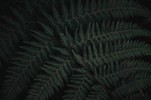 Fern, Leaves, Plant, Shrub, Flora, Forest, Nature
