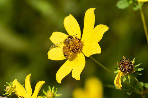 Bee, Flower, Yellow Flower, Insect, Pollination, Bloom