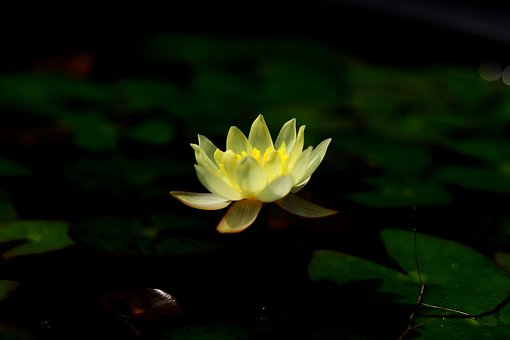 Water Lily, Pygmy Water Lily, Flower, Yellow Flower