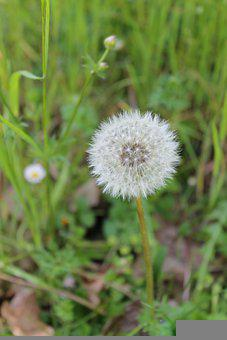 Red-Seeded Dandelion, Dandelion, Flower