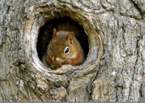 Squirrel, Chipmunk, Rodent, Red Squirrel, Mammal, Tree
