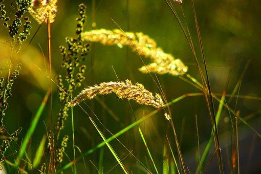 Grass, Blades Of Grass, Seeds, Plants, Blade, Reeds