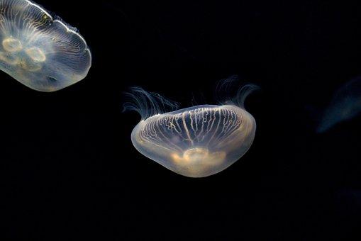 Jellyfish, Sea Jellies, Animals, Sea Life, Marine Life
