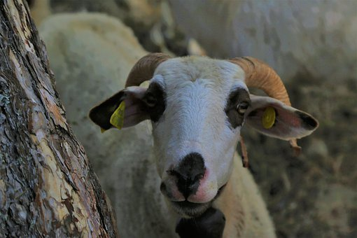 Sheep, Lamb, Wool, Horns, Animal, Mammal, Horned, Rural
