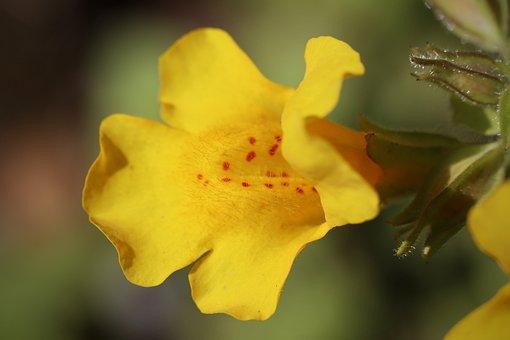 Yellow Juggler Flower, Spotted Juggler Flower