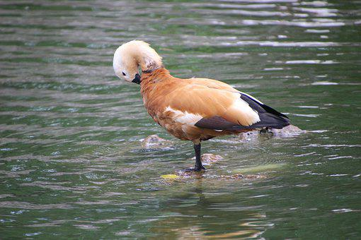 Ruddy Shelduck, Duck, Waterfowl