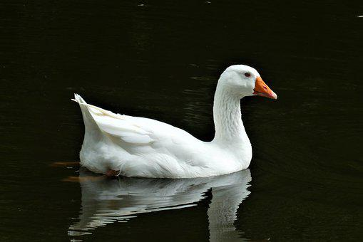 Goose, White, Bird, Poultry, Plumage, Water, Waterfowl