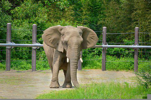 Elephant, Animal, Mammal, Wild Animal, Wildlife, Zoo