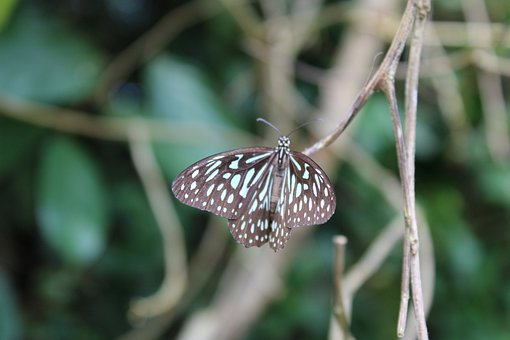 Butterfly, Wings, Butterfly Wings, Insect, Lepidopetra