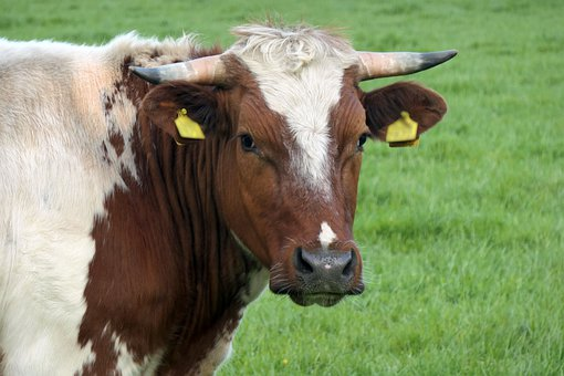 Cow, Cattle, Animal, Beef Cattle, Mammal