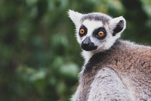 Lemur, Animal, Mammal, Primate, Wildlife, Fauna
