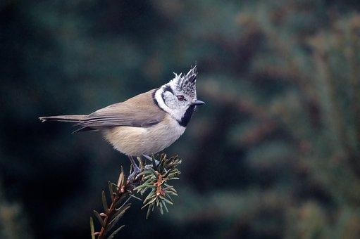 Crested Tit, Bird, Animal, Small Bird