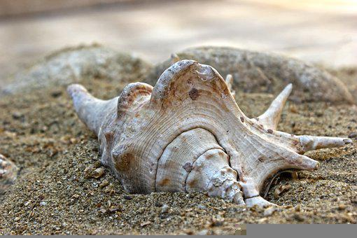 Shell, Sand, Beach, Creature, Aquatic