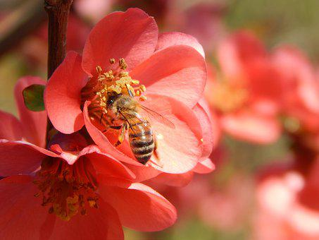 Bee, Insect, Flowers, Honey Bee, Bloom, Blossom