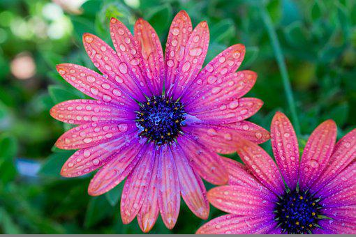 Flowers, Daisys, Dew, Bicolored Flowers