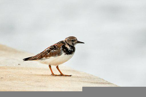 Ruddy Turnstone, Turnstone, Bird, Wading Bird, Animal