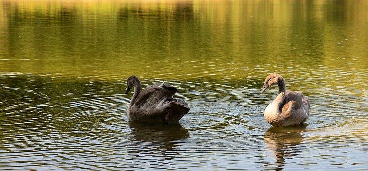 Swans, Animals, Birds, Black Swan, Water Birds