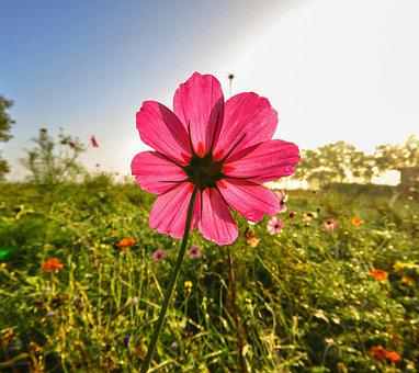 Pink Flower, Flower, Bloom, Blossom