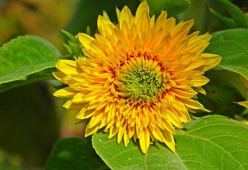 Sunflower, Flower, Bloom, Blossom, Yellow Flower