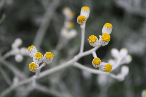 Silver Ragwort, Buds, Flowers, Jacobaea Maritima