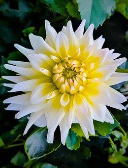 Dahlia, Flower, Petals, Bloom, Blossom