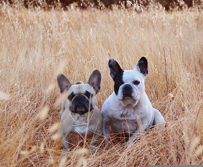 French Bulldogs, Dogs, Pets, Animals