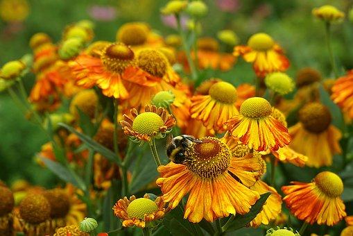 Gaillardia, Flowers, Bee, Pollen, Pollination