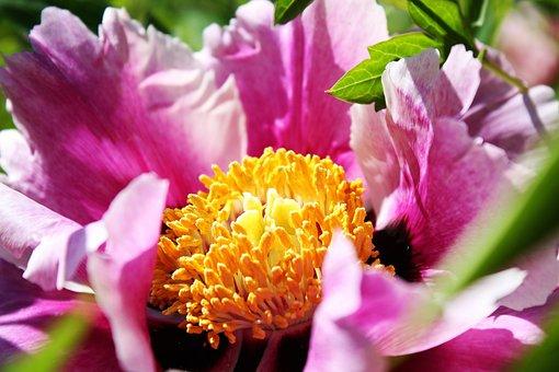 Flower, Pollen, Macro Photography, Pink Flower