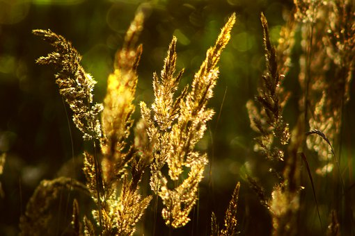 Grass, Plants, Seeds, Blade, Meadow