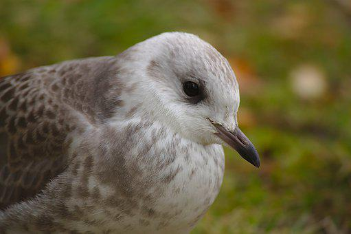 Seagull, Bird, Chick, Nature, Animal, Beak, Feathers