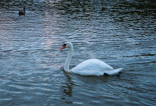 Swan, Bird, Lake, Feathers, Nature, Reflection, Water