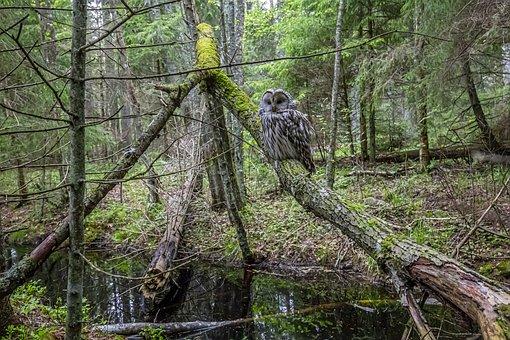 Ural Owl, Owl, Bird, Strix Uralensis, Bird Of Prey