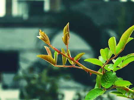 Rose Plant, Rose Branch, Garden, Petals, Blossom, Flora