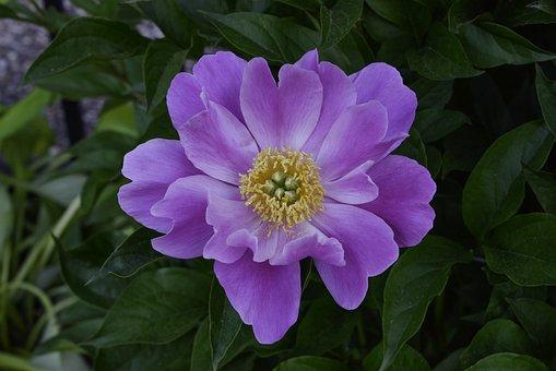 Peony, Flower, Purple Flower, Petals, Bloom, Blossom
