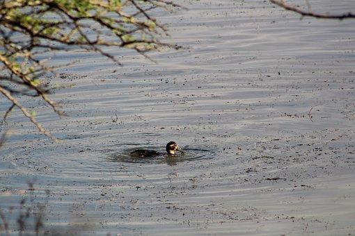 Duck, Bird, Beak, Swim, Lake, Pond, Nature
